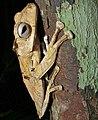 File-eared Tree Frog (Polypedates otilophus) (8440971112).jpg