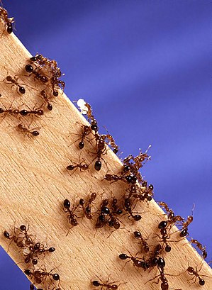 Trail pheromone - Fire ants are an example of a social insect species who depend on trail pheromones to obtain food for their colony.