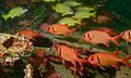 Five-lined Snappers (Lutjanus quinquelineatus) and Shoulderbar Soldierfishes (Myripristis kuntee) (6087938347).jpg