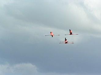 Jardines del Rey - Caribbean flamingos