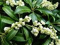 Fleurs à clochette blanche 2.JPG