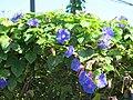 Fleurs de Ventotene.jpg