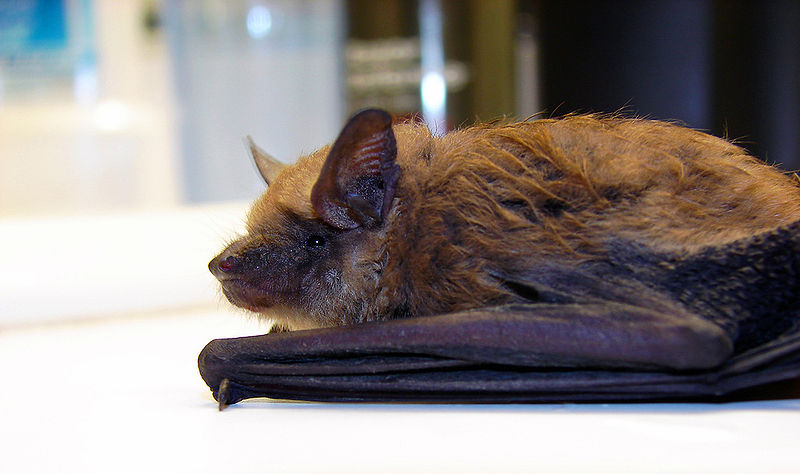 File:Flickr - Furryscaly - Countertop Bat.jpg