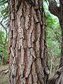 Flickr - João de Deus Medeiros - Terminalia fagifolia (2).jpg
