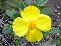 Flickr - brewbooks - Island Bush Poppy.jpg