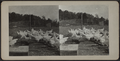 Flock of chickens, from Robert N. Dennis collection of stereoscopic views.png