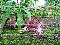 Flores da Chapada 05.jpg