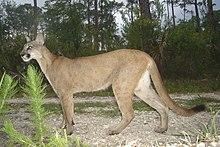 Florida panther (5164633394).jpg