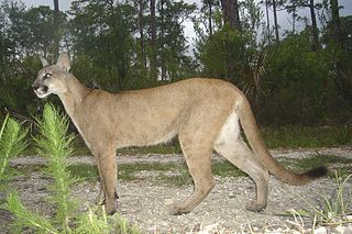 The largest living species of wild cat in Florida
