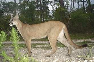 Florida panther - Image: Florida panther (5164633394)