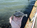 Flounder small one in hand.jpg
