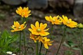"Flower, Rudbeckia ""Prairie Sun"" - Flickr - nekonomania.jpg"
