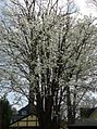 Flowering tree Summit NJ.jpg
