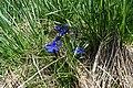 Flowers of Jablanica Mountain, Struga 09.jpg
