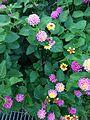 Flowers of Lantana camara 20160720.jpg