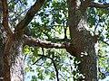 Forêt de la Coubre 037.jpg