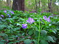 Forest-floor-flowers - West Virginia - ForestWander.jpg
