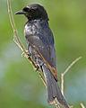 Fork-tailed Drongo (Dicrurus adsimilis) (16324315529).jpg