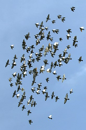 Herd - Large groupings of birds in flight are generally referred to as a flock