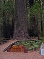 Founders Tree - Coast Redwood (Sequoia sempervirens) - Flickr - Jay Sturner.jpg