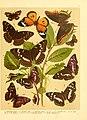 Fr. Berge's Schmetterlingsbuch nach dem gegenwärtigen Stande der Lepidopterologie neu bearb. und hrsg. von Professor Dr. H. Rebel (Plate 5) (6059073788).jpg
