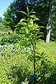 Franklinia alatamaha - Coastal Maine Botanical Gardens - DSC03194.jpg