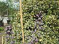 Fritillaria persica1.jpg