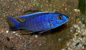 Haplochromis - Adult male Sciaenochromis fryeri