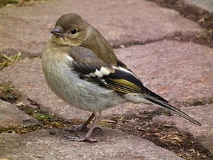 Common chaffinch - Female in Hessen, Germany