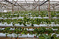 Fungiculture cameron erdbeeren 1.jpg