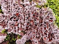 Fungo Punctularia atropurpurascens.jpg