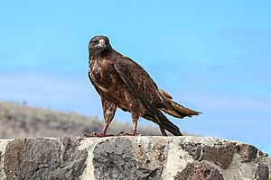 Galapagos hawk - An adult in Santa Fe Island.