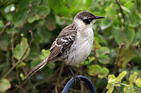 Galapagos mockingbird -Santa Cruz -Charles Darwin Research Centre