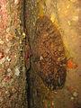 Galathea strigosa, Zeugopterus punctatus - Carantec.jpg