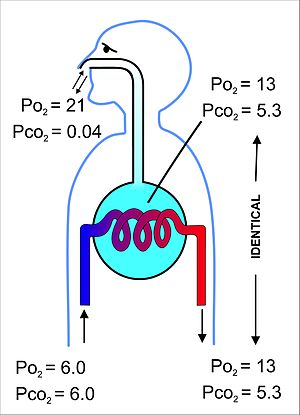Respiratory system - Fig. 11 A highly diagrammatic illustration of the process of gas exchange in the mammalian lungs, emphasizing the differences between the gas compositions of the ambient air, the alveolar air (light blue) with which the pulmonary capillary blood equilibrates, and the blood gas tensions in the pulmonary arterial (blue blood entering the lung on the left) and venous blood (red blood leaving the lung on the right). All the gas tensions are in kPa. To convert to mm Hg, multiply by 7.5.