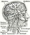 Gehirn (Meyers).jpg