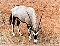 Gemsbok (Oryx gazella), Pearl Coast Zoo, Broome, Western Australia - 1989.jpg