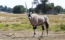 A gemsbok, a type of antelope