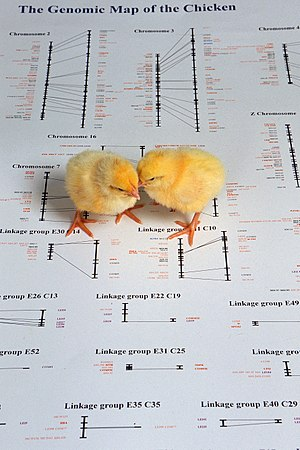 Genetic marker - Chicks atop a picture of a genetic map of a chicken. The chicken genome has 39 pairs of chromosomes, whereas the human genome contains 23 pairs