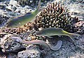 Geometric moray, Gymnothorax griseus, Перечная мурена..DSCF6027WI.jpg