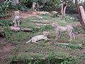 Gepard Nachwuchs im Zoo Landau - panoramio.jpg