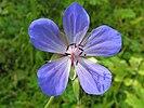 Geranium pratense 20140704 481.jpg