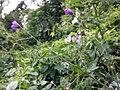 Geranium pyrenaicum sl12.jpg
