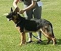German Shepherd Dog Alsatian 4.jpg
