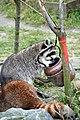 Gewone wasbeer (6795405496).jpg