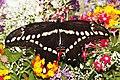 Giant Swallowtail - Papilio cresphontes, Herndon, Virginia.jpg