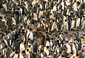 Giant petrel and king penguins.jpg