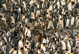 Giant petrel - Image: Giant petrel and king penguins