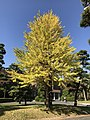 Ginkgo biloba in Hakozaki Campus of Kyushu University.jpg