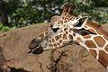 Giraffa camelopardalis at the Philadelphia Zoo 004.jpg